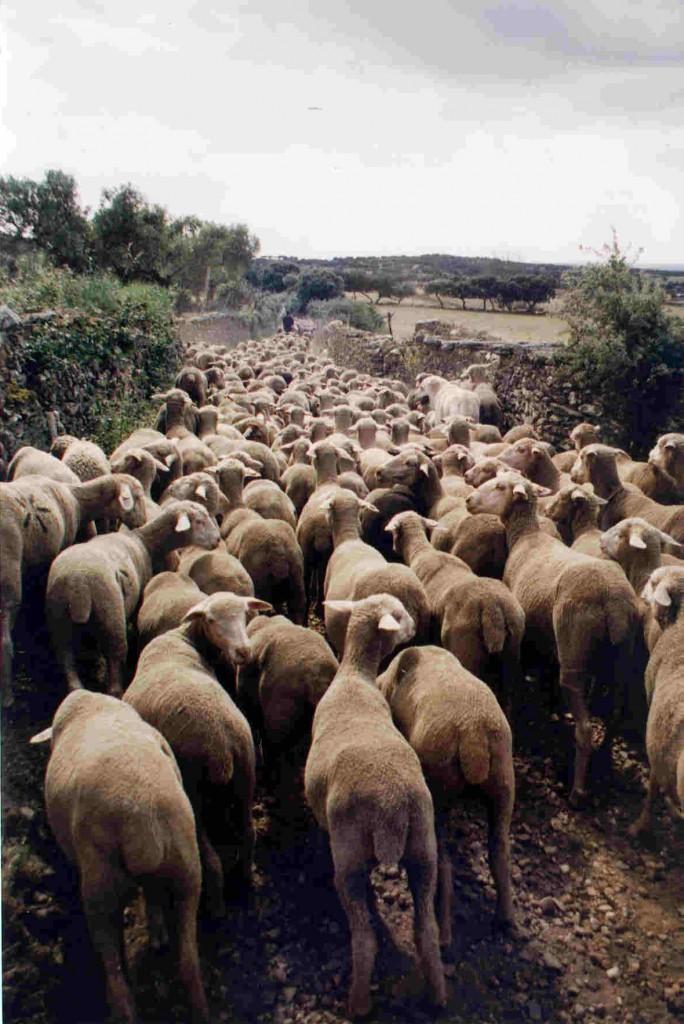 Un grupo de ovejas trashumantes se desplaza entre dehesas por la provincia de León.Foto: Fundación Global Nature.