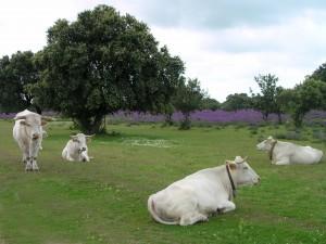 Varias vacas de la raza Blanca Cacereña, en una dehesa del Parque Nacional de Monfragüe (Cáceres). Foto: Fundación Global Nature.