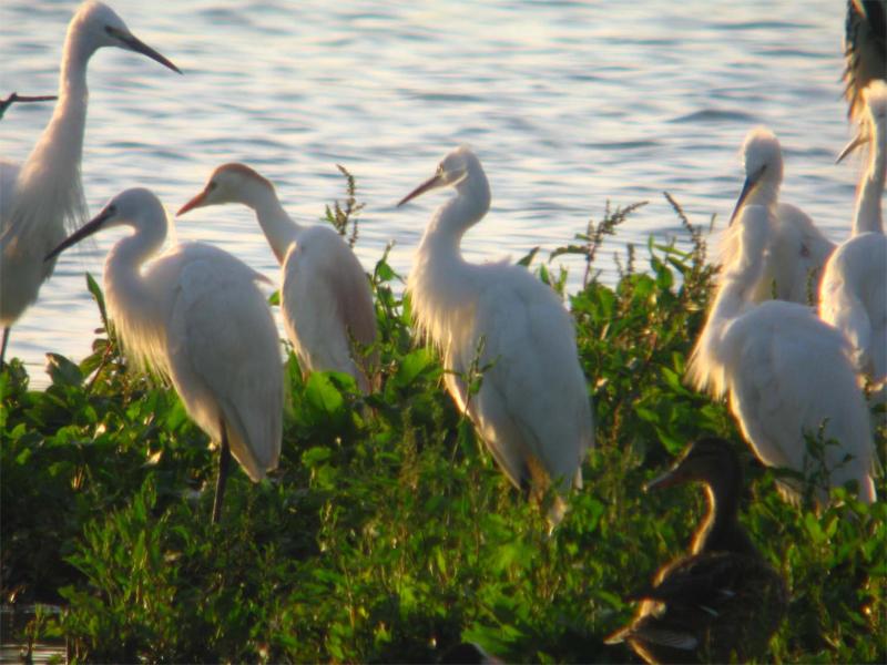 Garcillas Isleta Reserva Marisma Alday (FNyH)